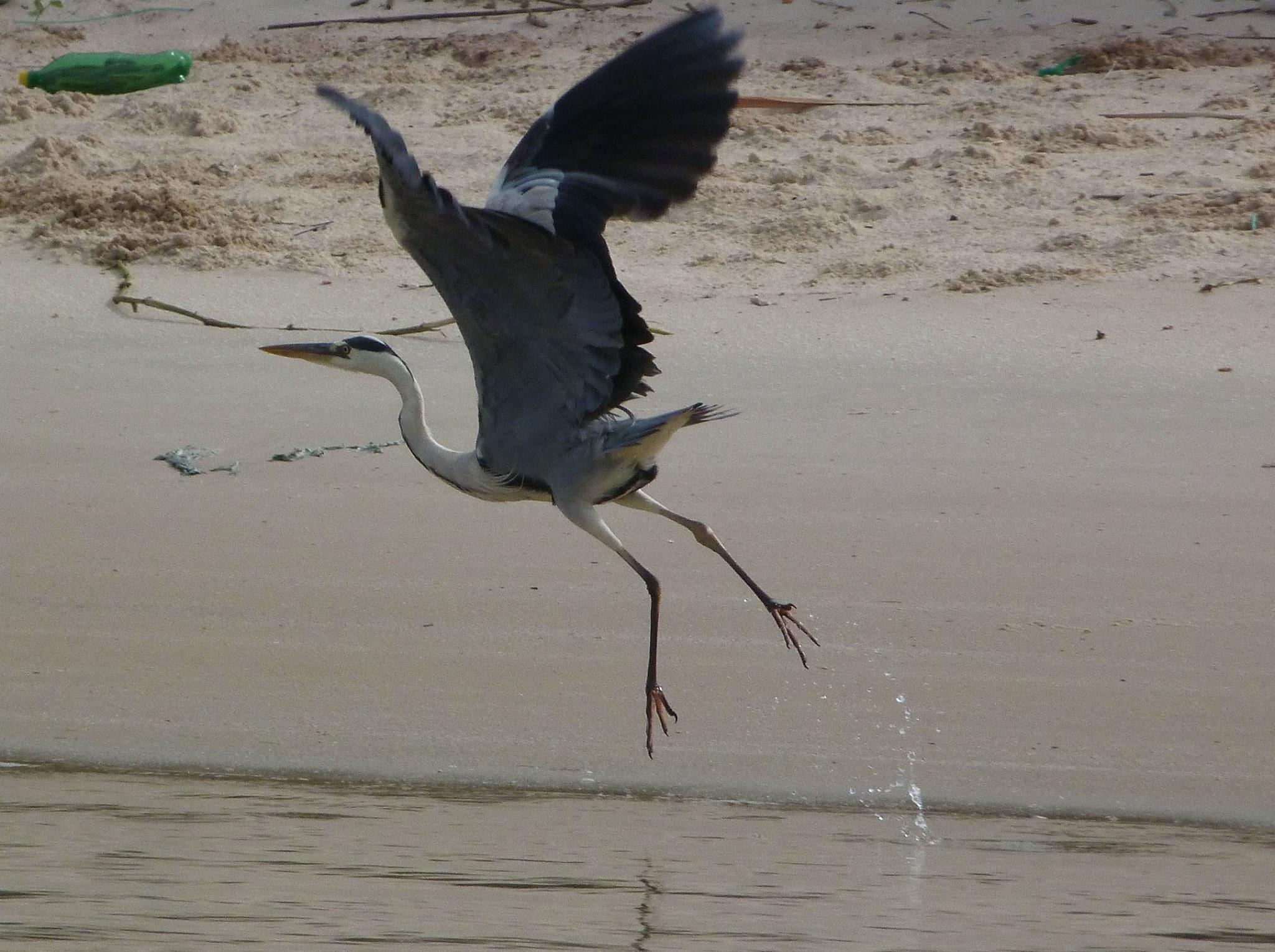 ornithologie a Gandiol